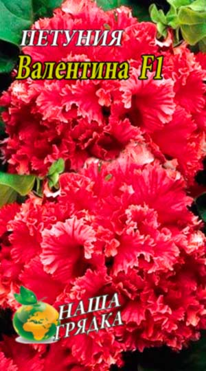 Petunia-valentina