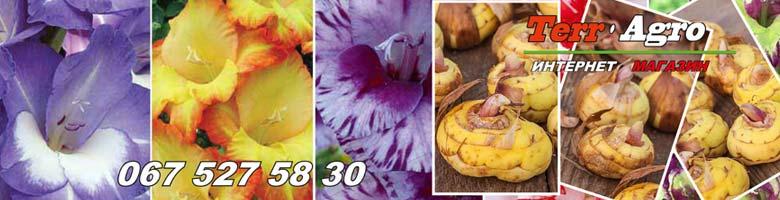 50-luchshih-sortov-gladiolusov-v-nashem-kataloge