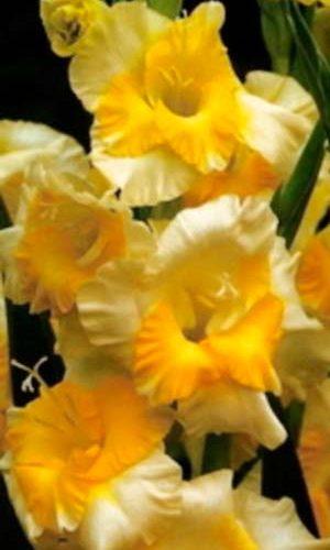 Gladiolus-Baggi