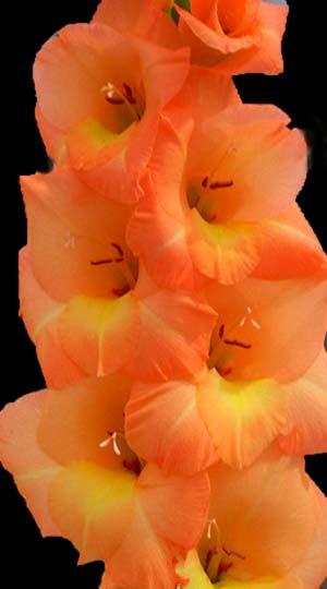 Gladiolus-E-sta-Bonita