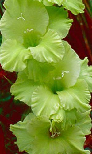 Gladiolus-Grin-Star