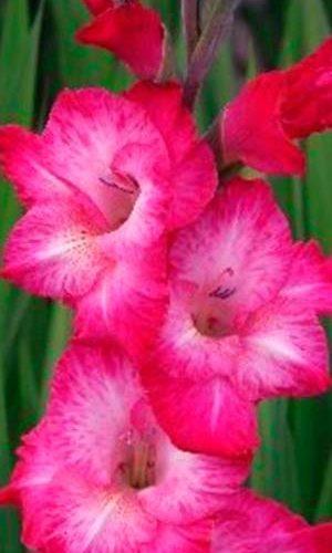 Gladiolus-Kantate