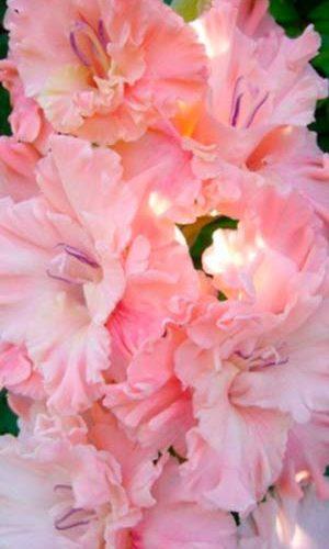 Gladiolus-Pink-Sensejshn
