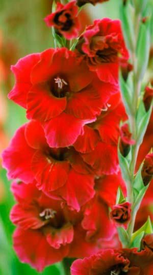 Gladiolus-Plumtart