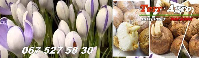 Vy-gonka-krokusov-k-8-marta-zimnyaya-vy-gonka
