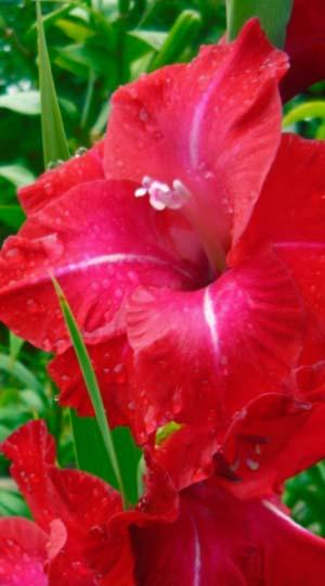 gladiolus-Partitur