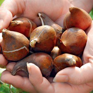 Луковицы в розницу