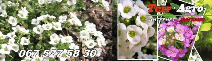 Semena-alissuma-kupit-v-Ukraine