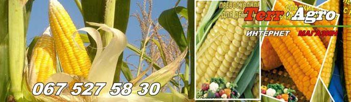 Выращивание сахарной кукурузы в открытом грунте